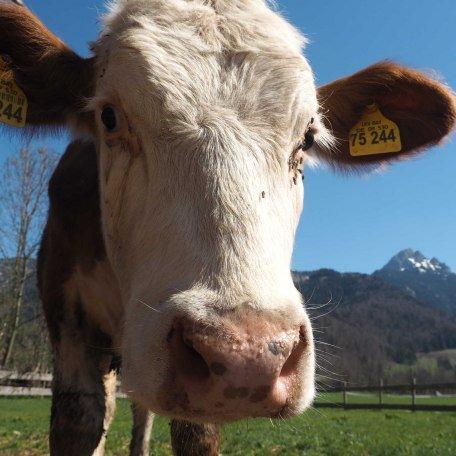Unsere Kühe, © im-web.de/ Tourist-Information Bayrischzell
